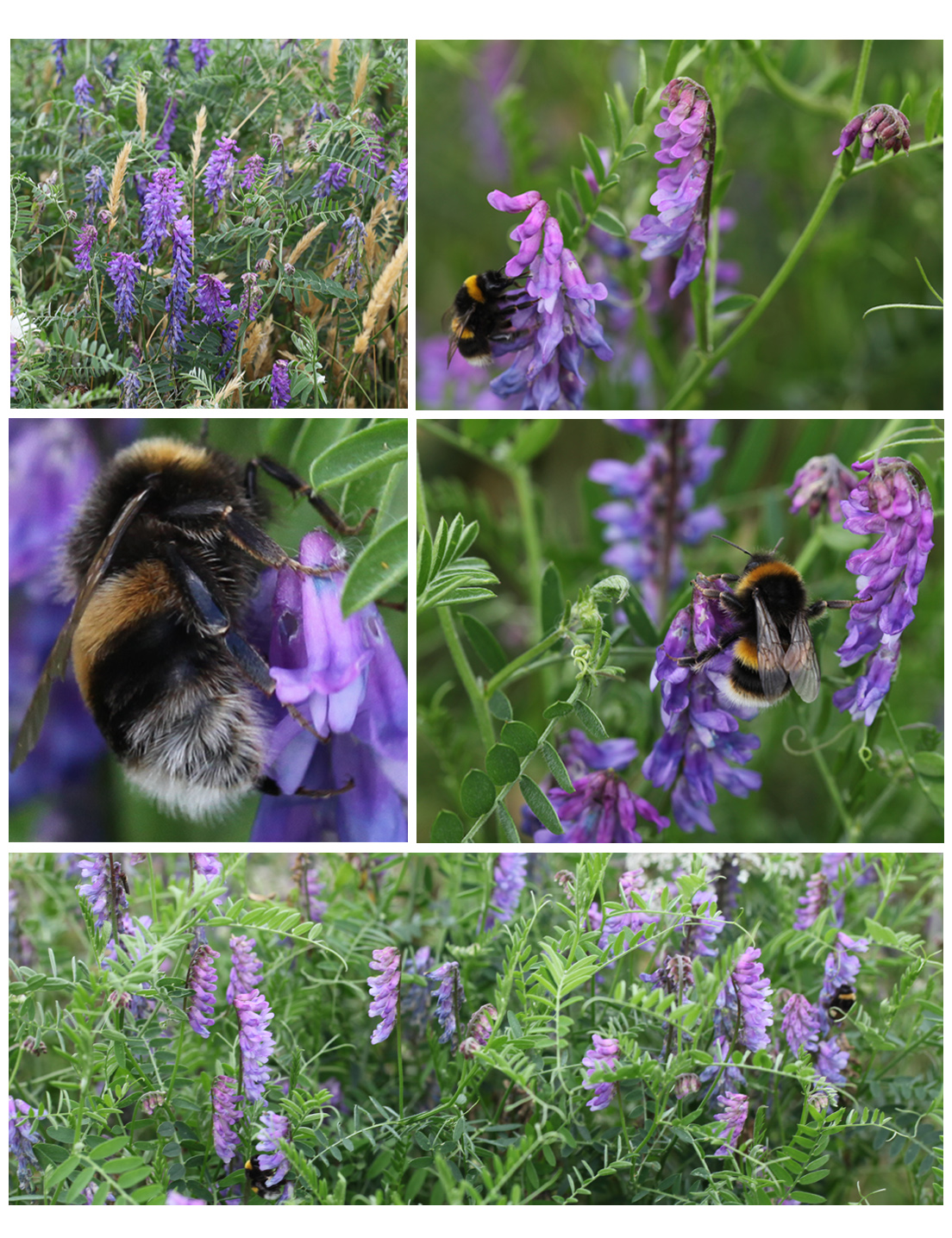 Tufted vetch and bumble bees in the Garden 2013 (Squire)