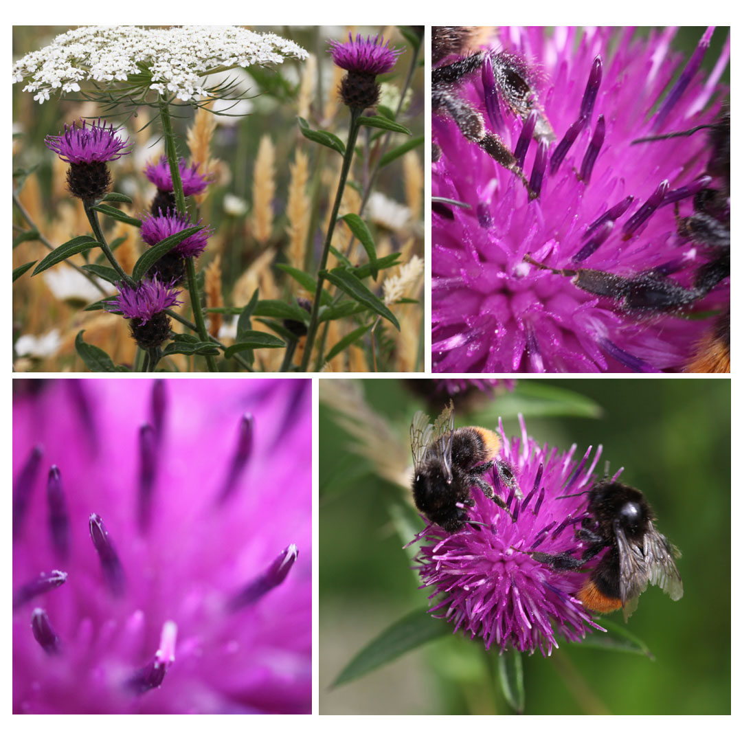 Knapweed and bees in the Garden 2013 (Squire)