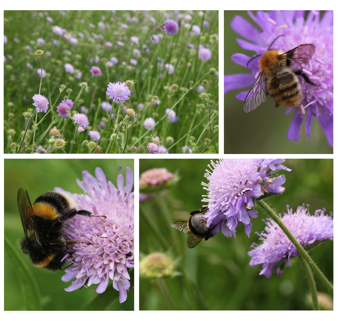 Images of field scabious and bumble bees in the Garden, 2013 (Squire)