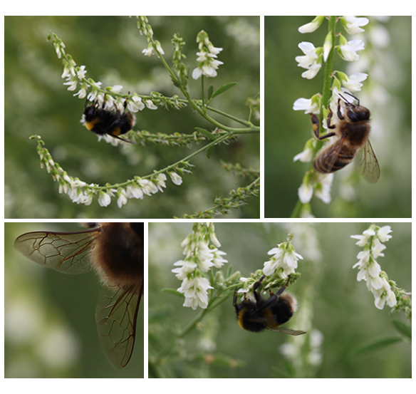 White melilot and bees in the Garden 2013 (Squire)