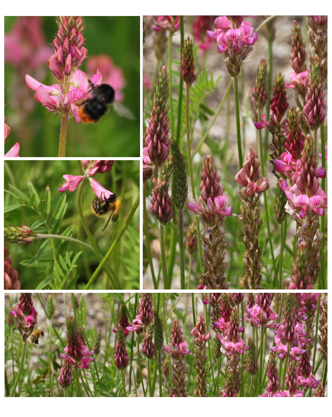 Sainfoin and bees in the legume collection, Living Field garden 2013 (Squire)
