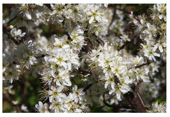 Blackthorn flowering in the Living Field garden 17 April 2014