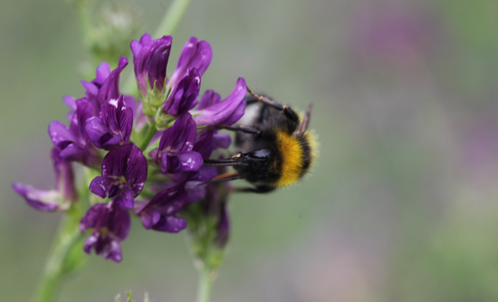 Lucern bloom and bumble bee (Living Field/Squire)