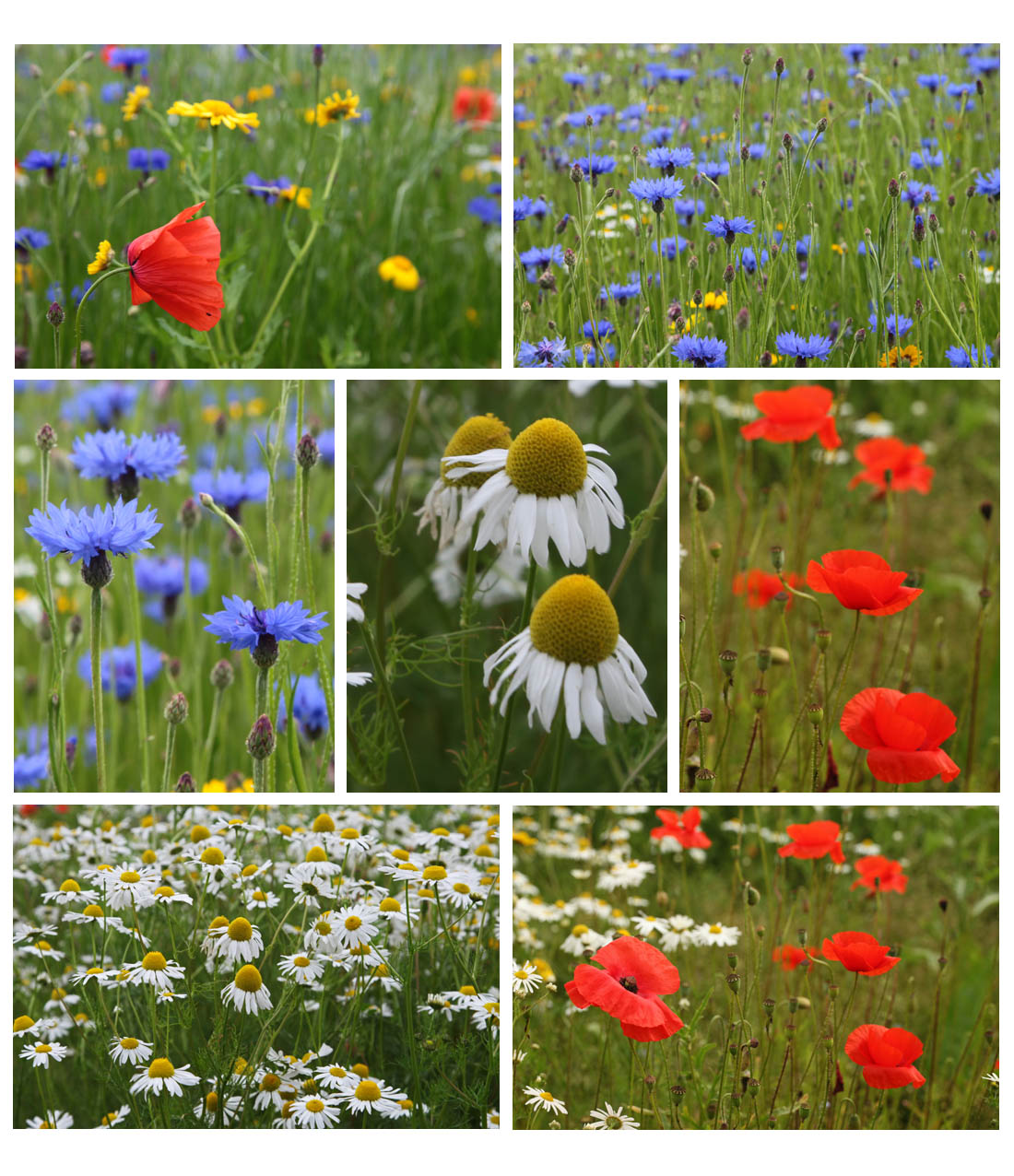 Cornfield weeds in the Garden - blue cornflower, red poppy, white mayweed, yellow corn marigold, 2011 (Living Field collection)