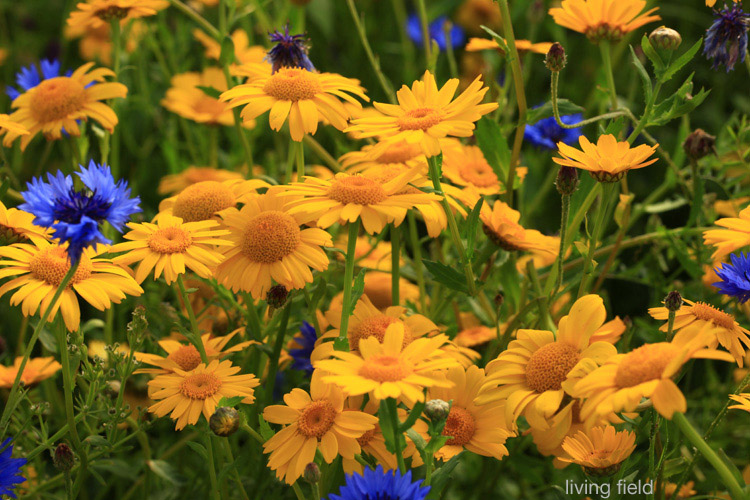 Corn marigold, and cornflower, in the Living Field garden 22 July 2015 (Living Field)