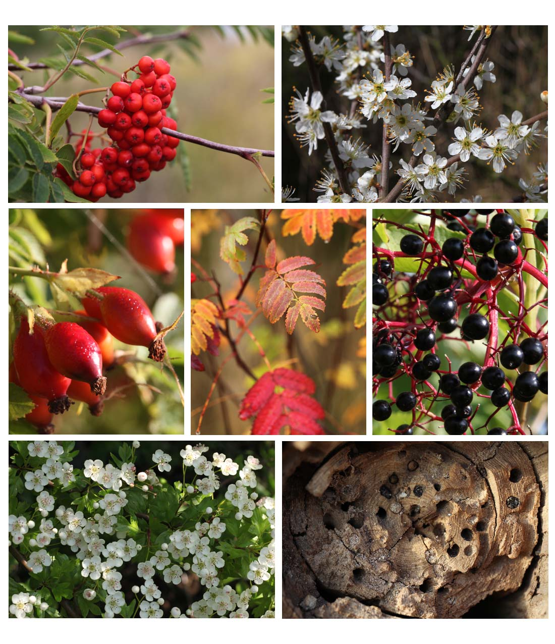 Hedge and tree - (upper) rowan berries, blackthorn flower, (middle) rose hips, autumn leaf, elder berries, (lower) hawthorn flower, dead trunk with insect nest-holes (Living Field collection)