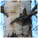 Trunk of a birch tree (Living Field collection)