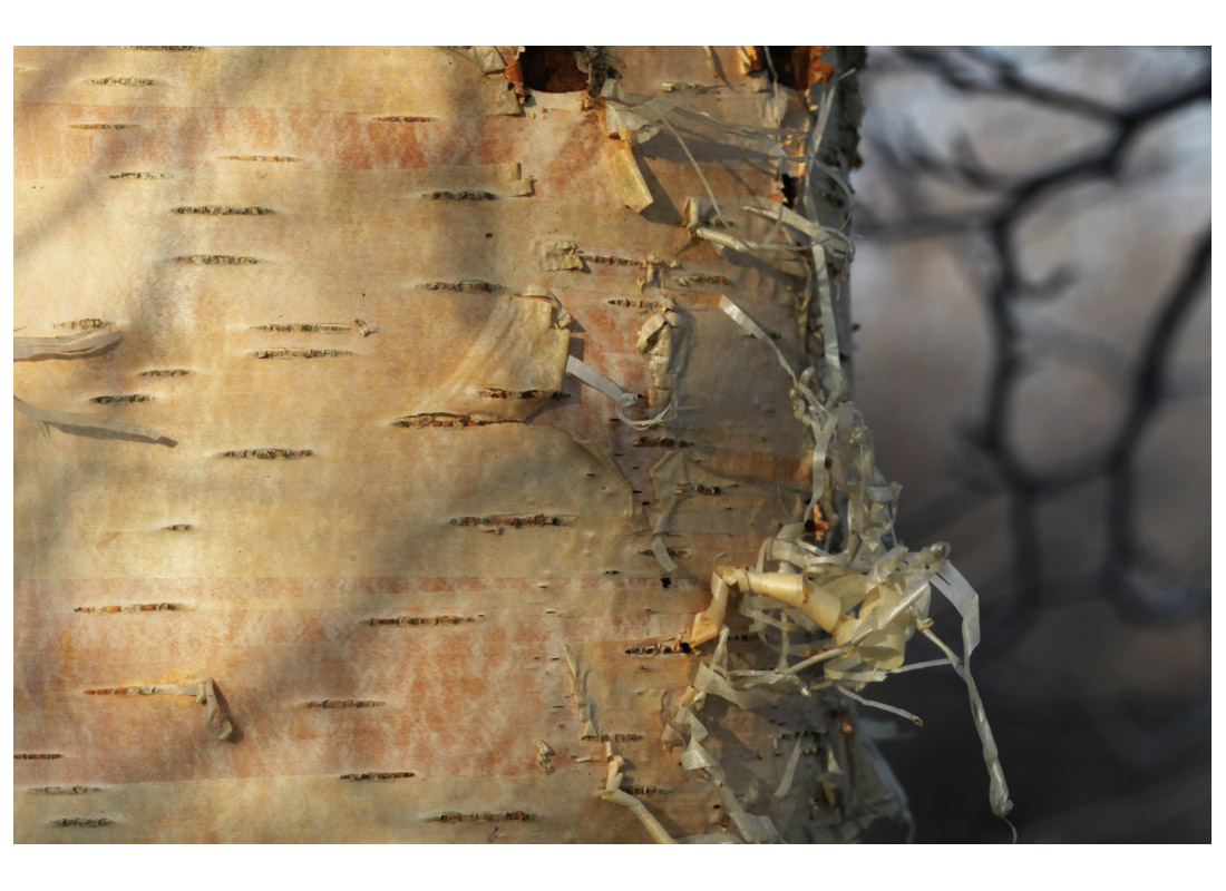 Birch trunk winter 2012 (Living Field collection)