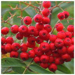 Rowan berries (Living Field collection)
