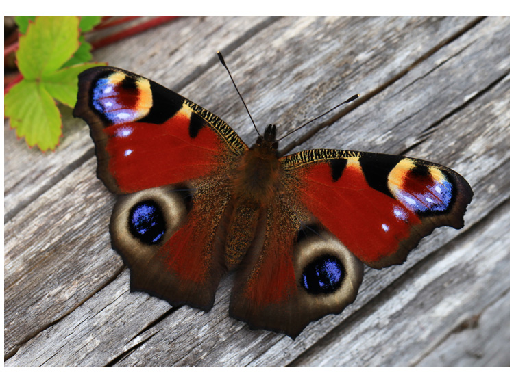 Peacock butterfly resting on a log in the garden, 24 August 2014 (Living Field collection)