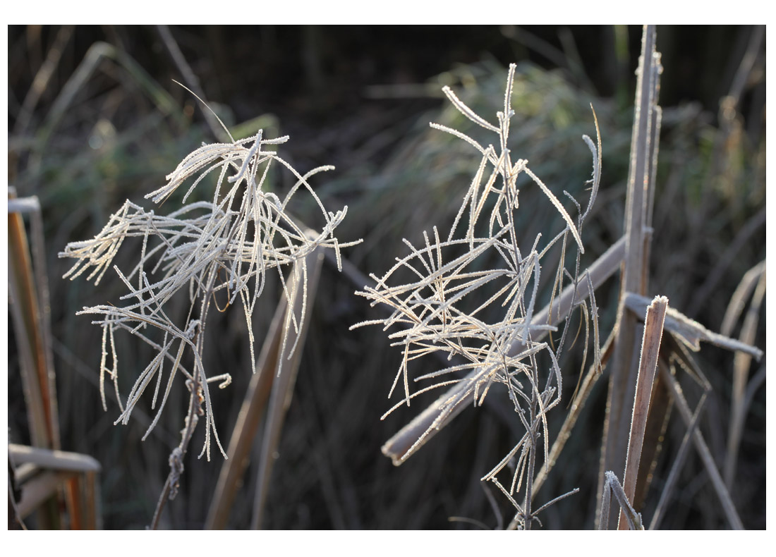 Frosted dead Epilobium in front of bulrush leaf, winter 2012 (Living Field collection)