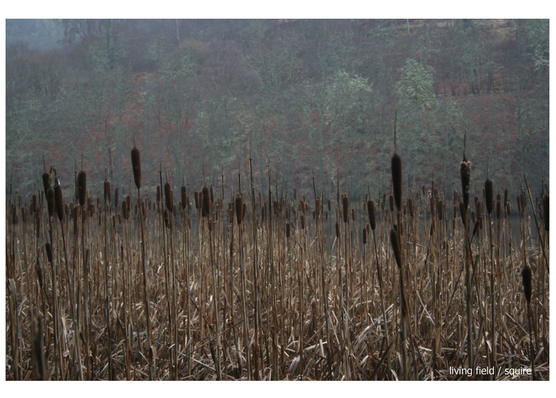 Bulrush by the River Tay, early February (Living Field / Squire)