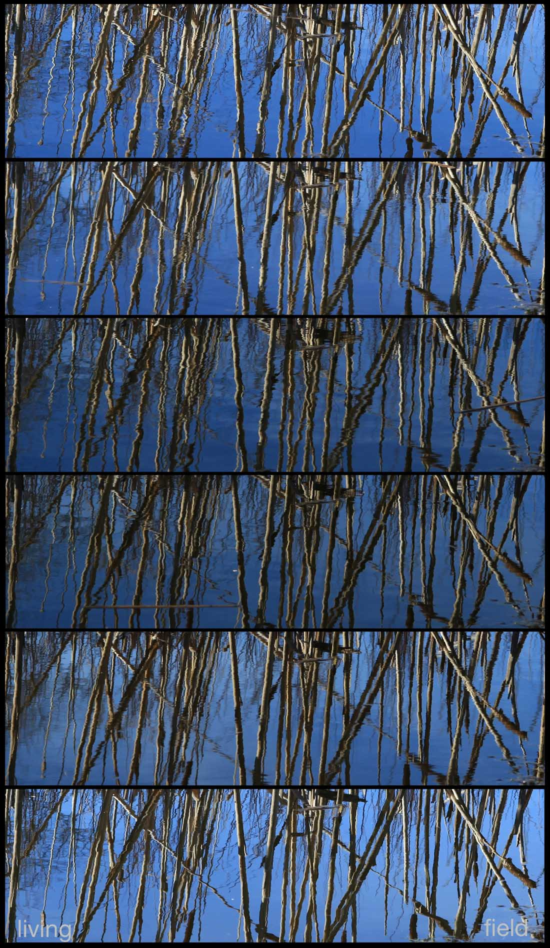 Bulrush stems reflected in a pond, eclipse 20 March 2015 (Squire / Living Field)