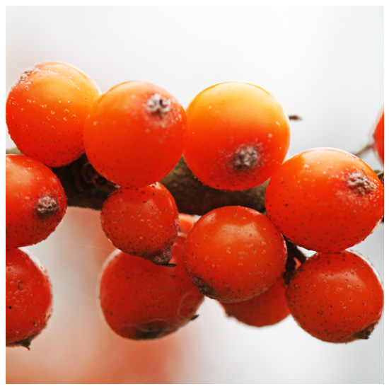 Fruits of the sea buckthorn (Living Field collection)