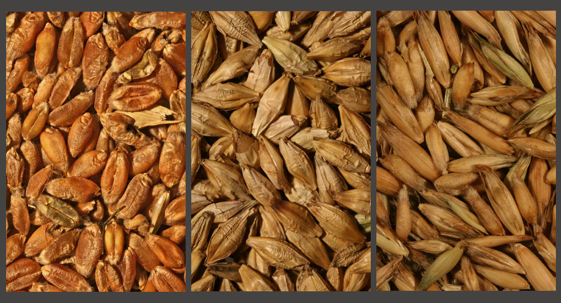 Grain of (left to right) wheat, barley and oat (Living Field collection)