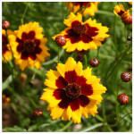Dyer's coreopsis August 2010 (Living Field collection)