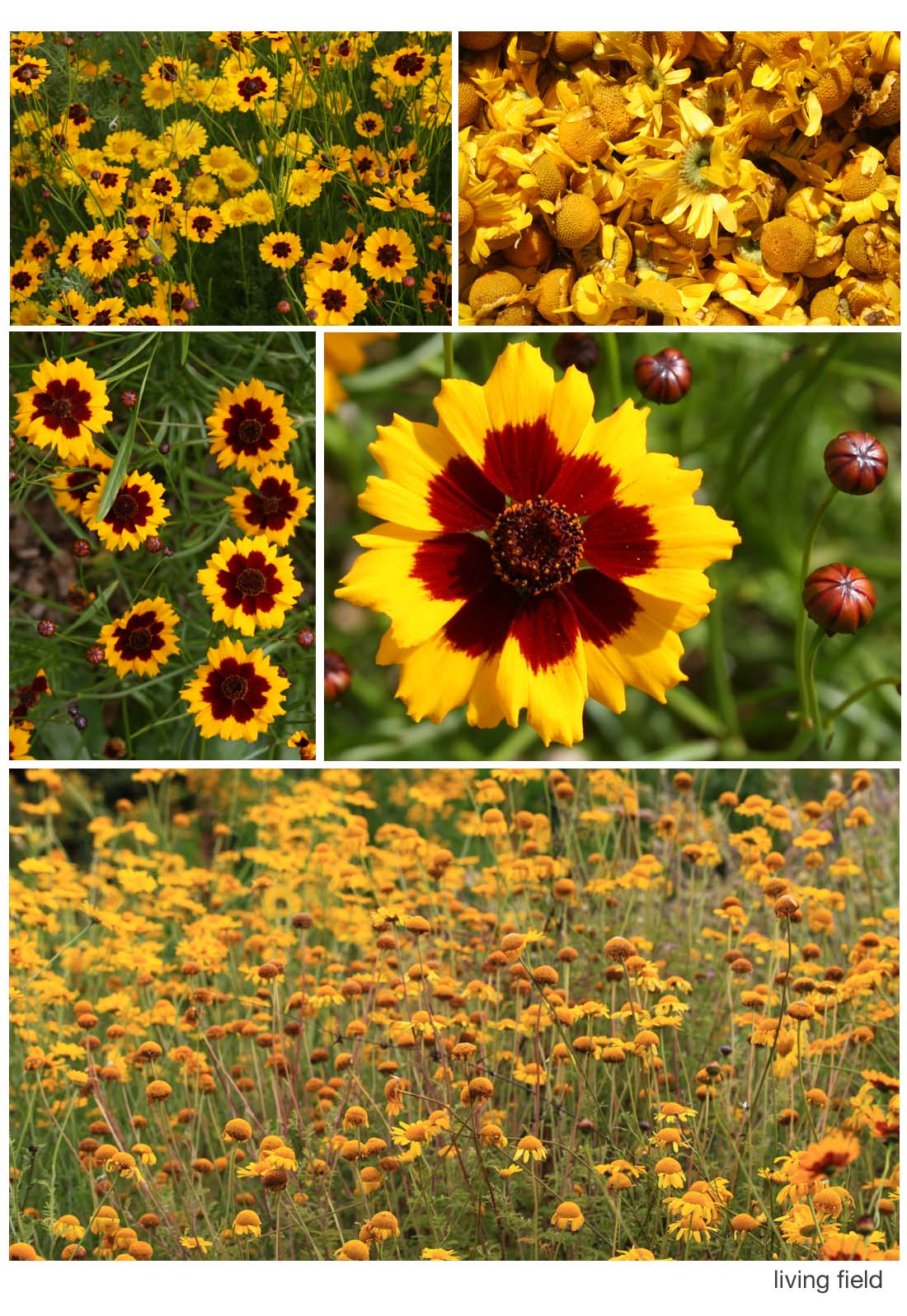 Dyer's coreopsis and chamomile (Living Field)