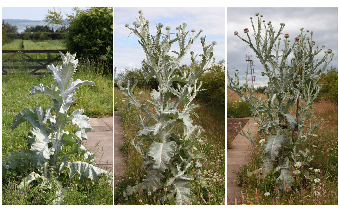 One thistle, 2011, on 6 June, 1 July and 19 July (Living Field collection)