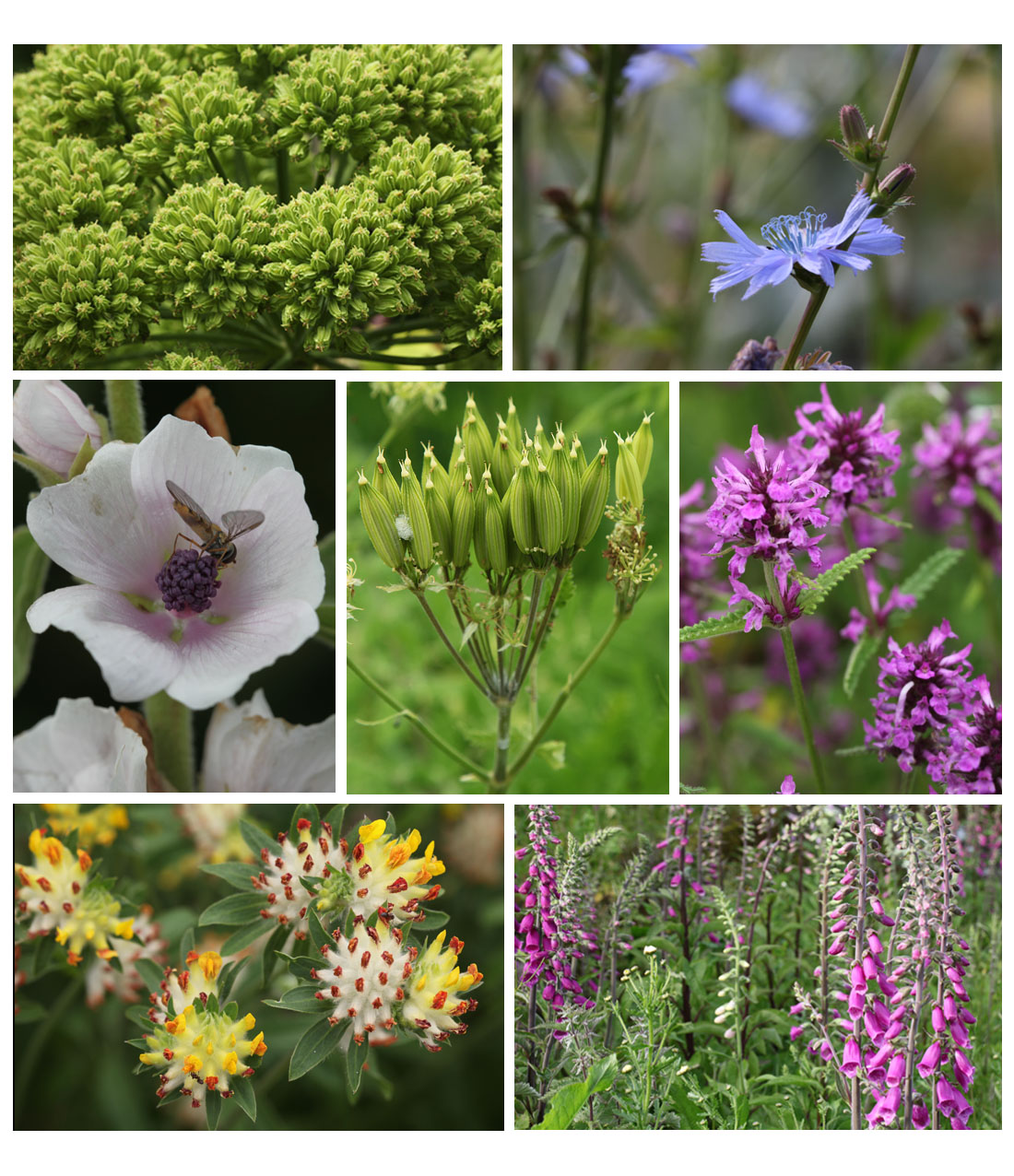 Medicinals in the Garden - (top) seeding angelica, chicory flower, (middle) marsh mallow flower, seeding sweet cicely, betony, (bottom) kidney vetch, foxglove (Living Field collection).
