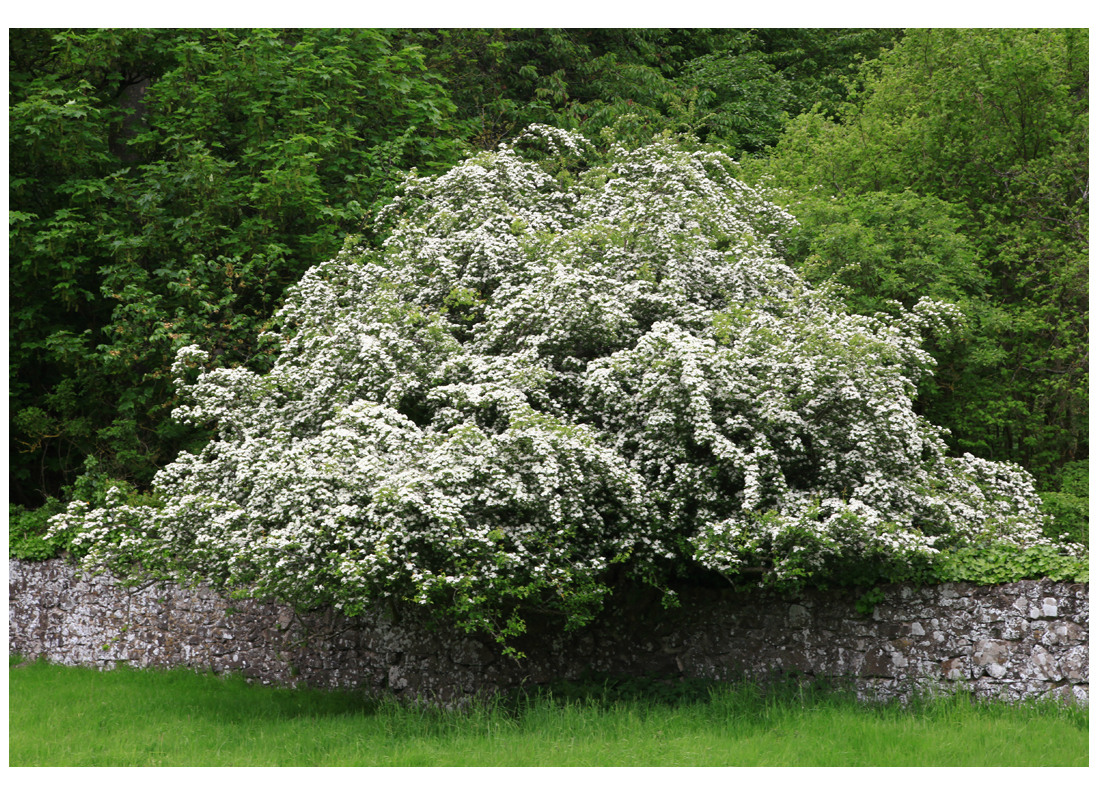 Hawthorn tree in flower, southern base of the Sidlaws, 20 May 2014 (Squire)