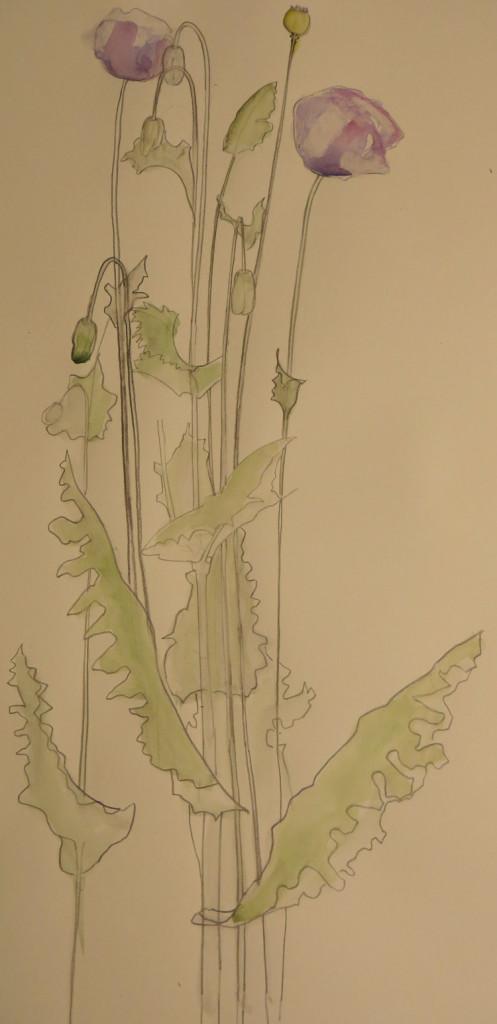 Jean's watercolour sketch of opium poppy in the Living Field garden, July 2014 (Jean Duncan)
