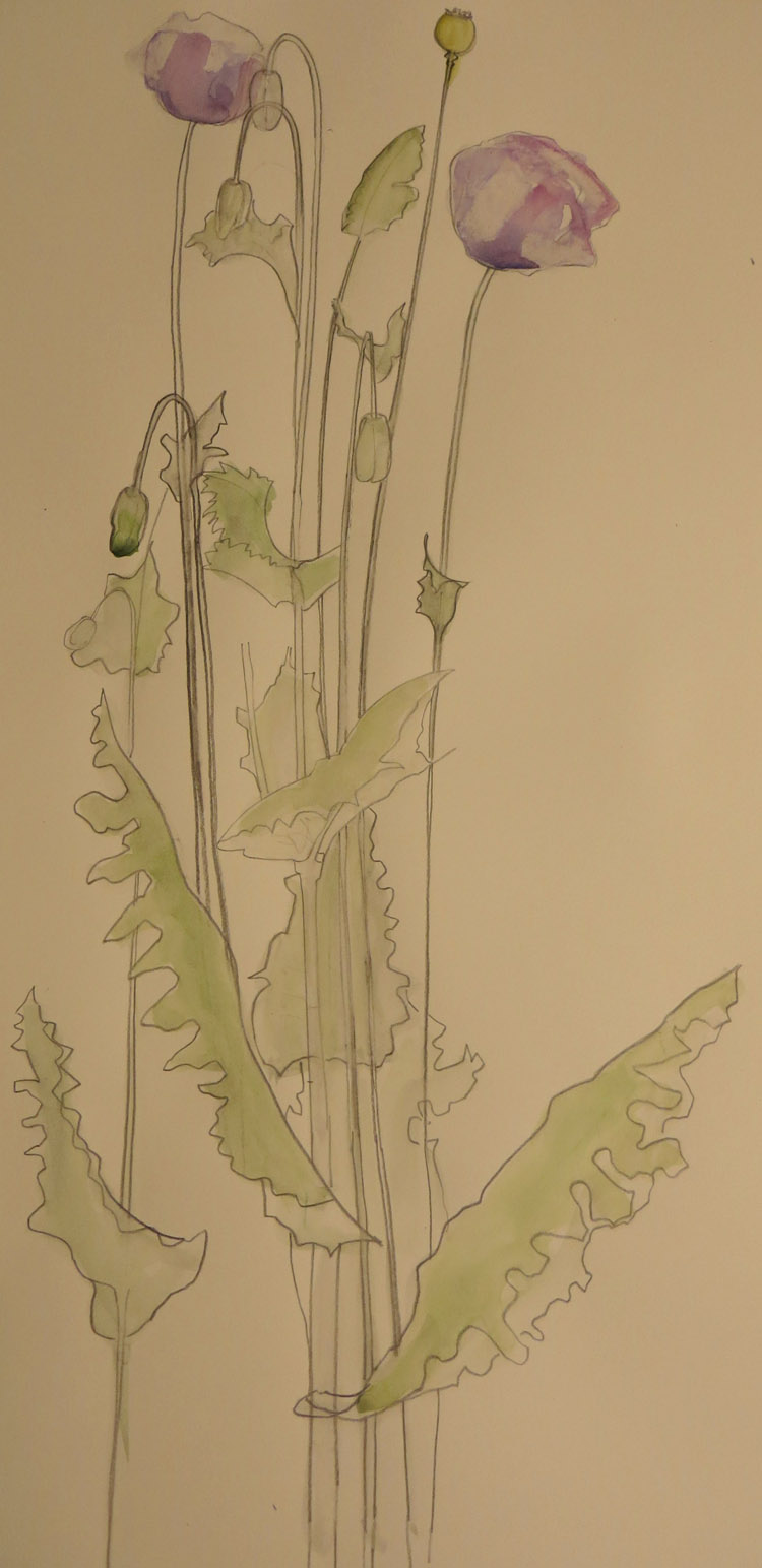 Jean's watercolour sketch of opium poppy in the Living Field garden, July 2014 (Jean Duncan)