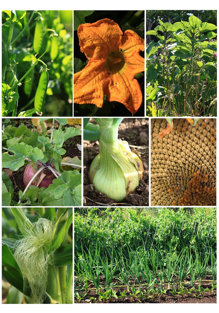 Vegetables in the garden (top left to right), peas, pumpkin flower, sunflower plants, (mid) swede, onion, part of sunflower head, (bottom) maize 'tassel' and view across beet, onions and peas (Living Field collection)