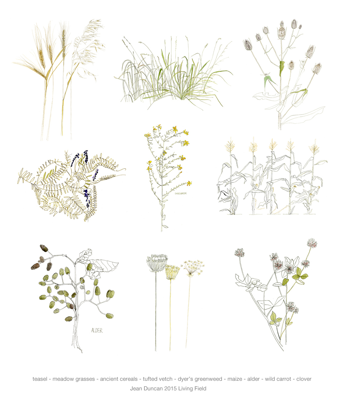 Plants of the Living Field garden by Jean Duncan