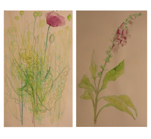 Jeans drawings and watercolours of opium poppy (left) and foxglove in the Living Field garden, summer 2014 (Jean Duncan)