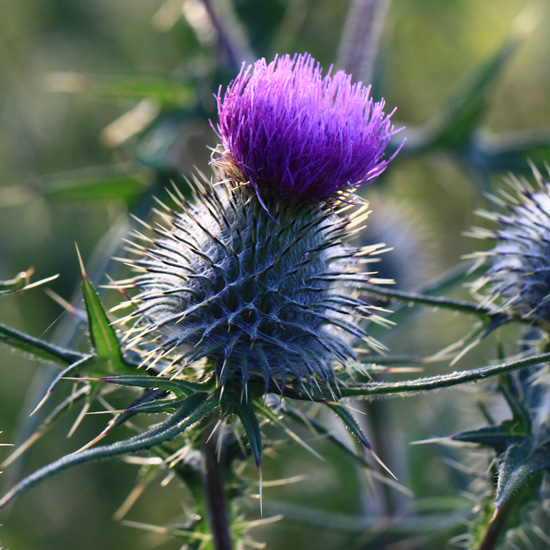 "Flowering head of the spear thistle - ""I'm no cuddly"" (Living Field collection)"