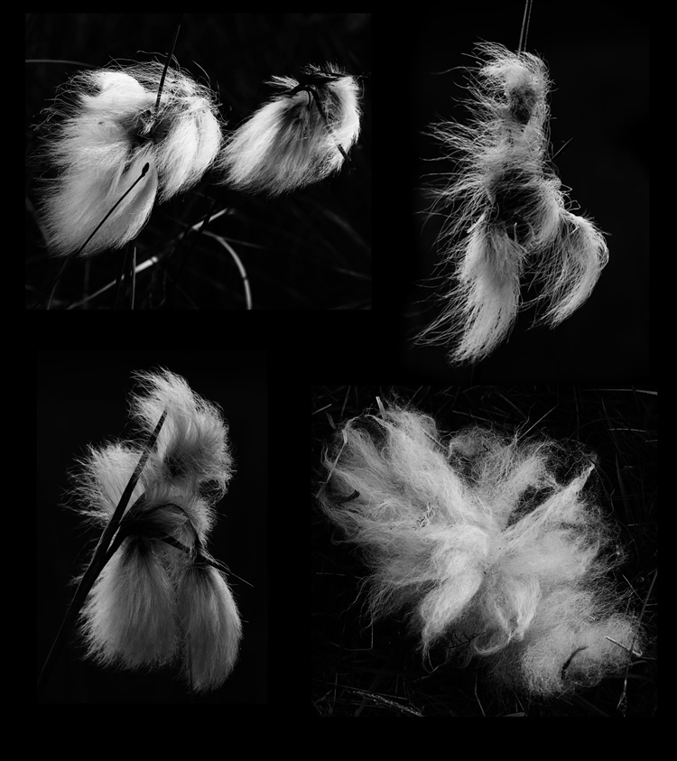 Plumes of bog cotton (3) and clump of sheep's wool, this day in 2013 (Squire)