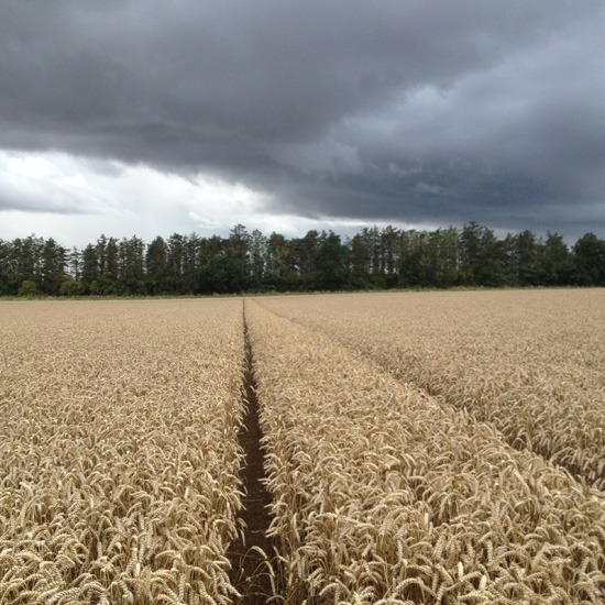 Wheat near harvest, Borders 14 August 2014 (Squire)