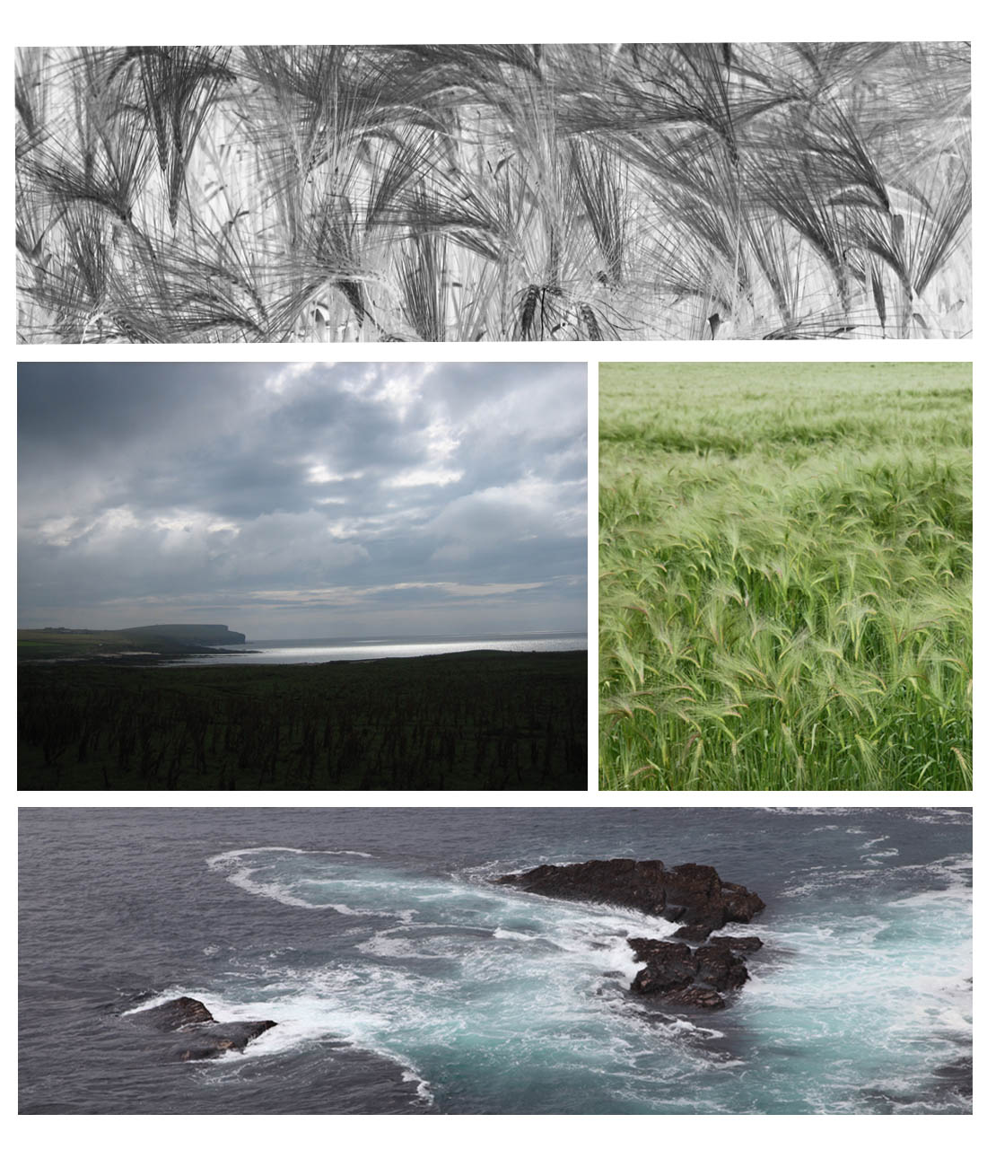 Bere canopy, image modified to show structure, green bere crop in Orkney and seascapes (KM and GR Squire)