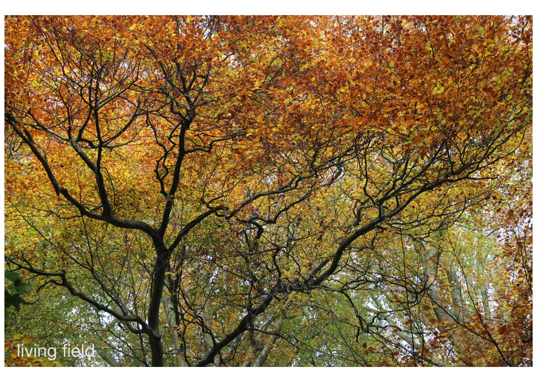 Beech, leaves turning, upper branches on 1 November 2015 (Squire / Living Field)