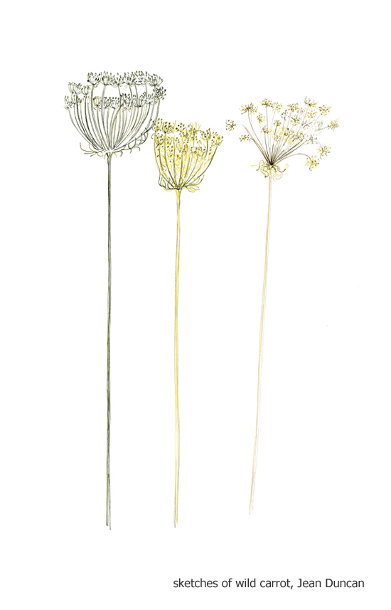 Sketches of wild carrot heads in the Living Field garden 2014 by Jean Duncan