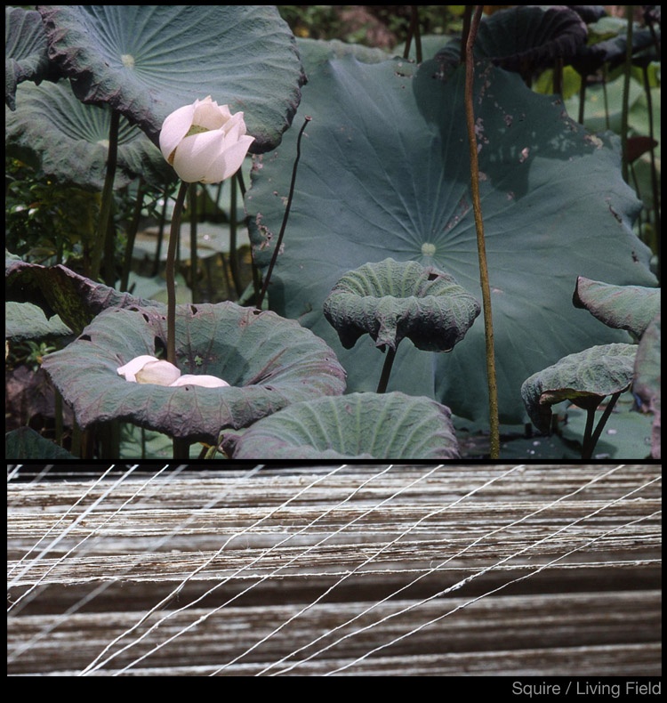 Lotus plants in north Thailand and fibres being spinned at Inle Burma (Squire / Living Field)