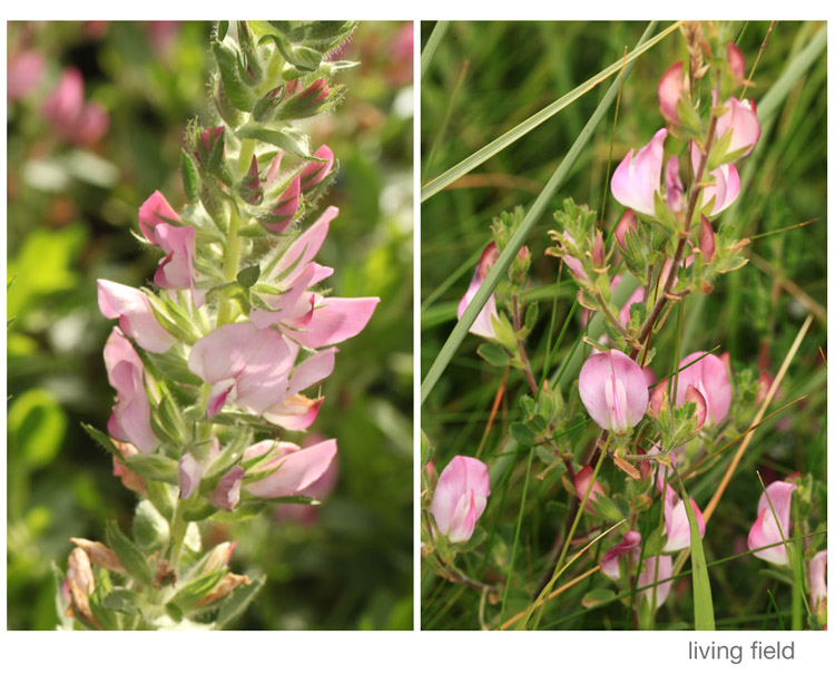 Flowering branches of common restharrow (left) in the Living Field garden and (right) at Montrose Bay (Living Field)
