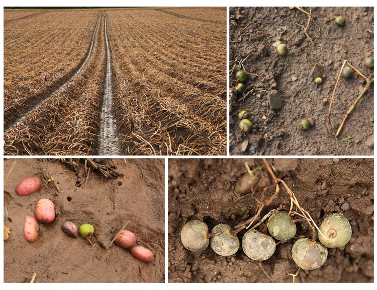 Images of a potato field, wet autumn 2012 (Living Field collection)