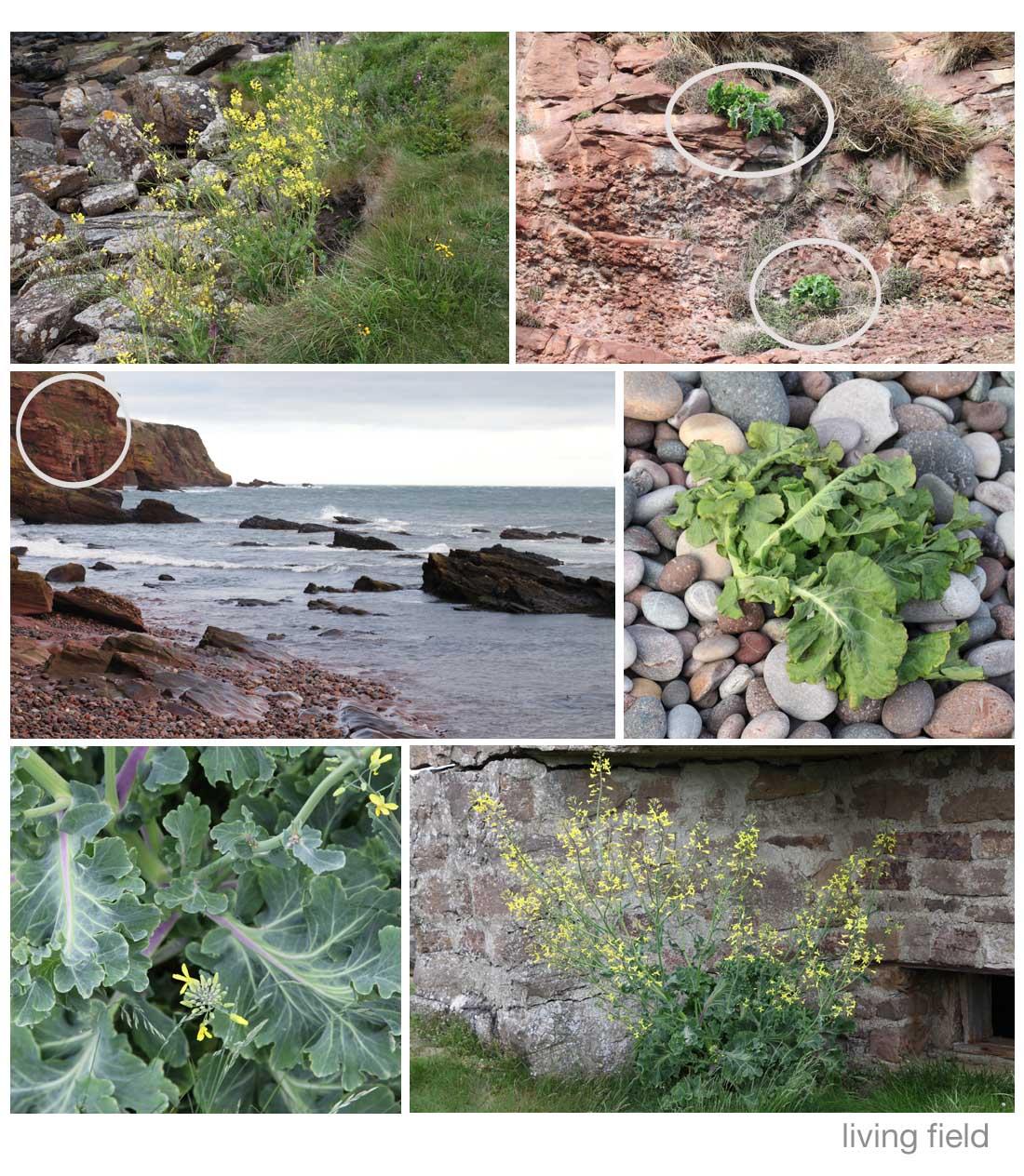 Wild cabbage Brassica oleracea Living Field)