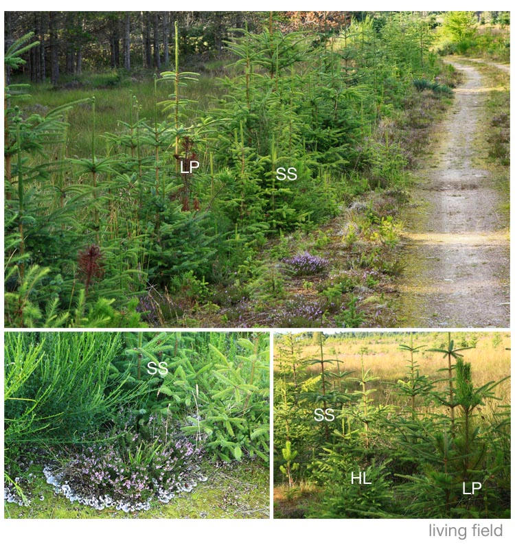 Self-seeding plantation forest trees (Living Field)