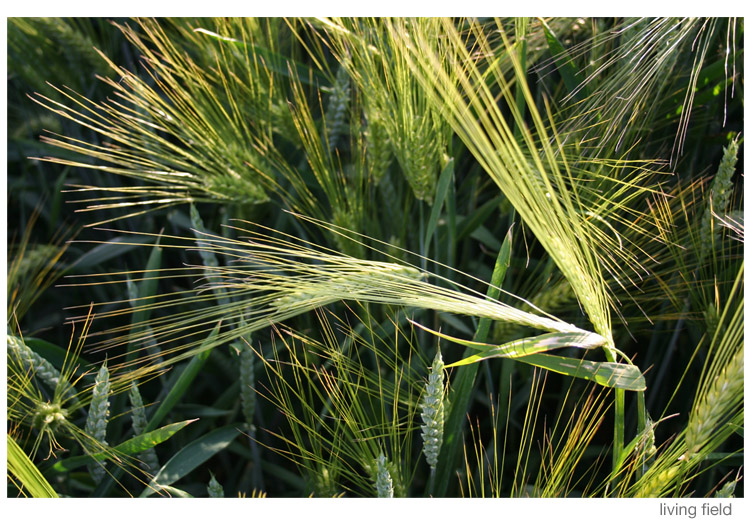 Barley weeds in wheat (Living Field)