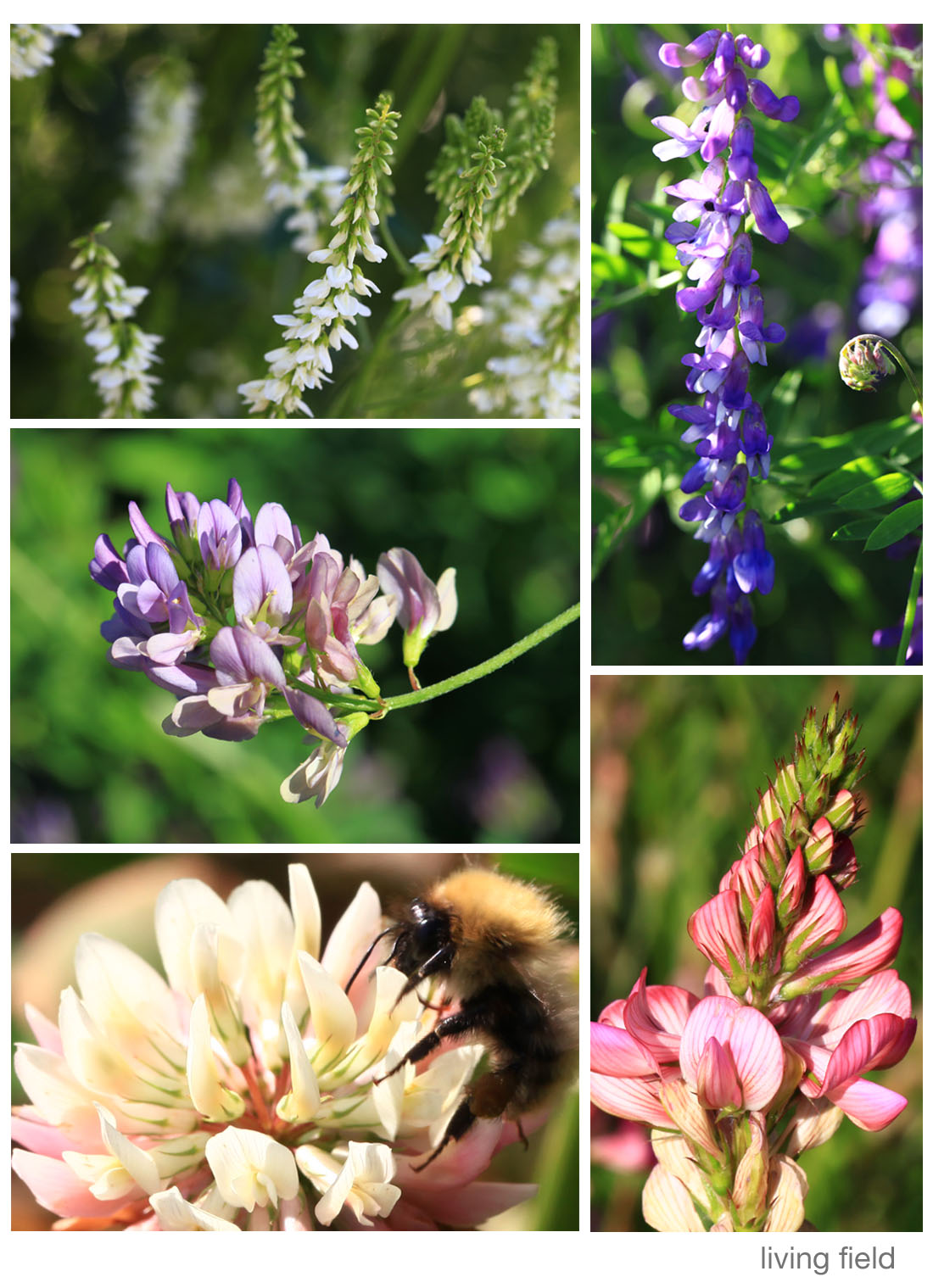 Legumes flowering in the garden, 3 August 2015 (Living Field)