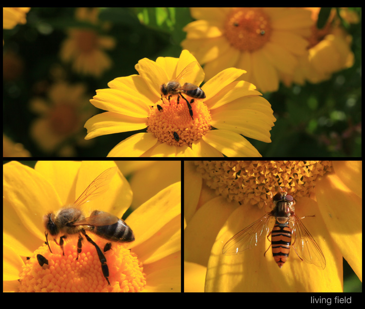 Insects on corn marigold in the garden, 3 August 2015 (Living Field)