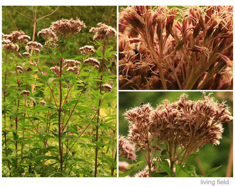 Hemp-agrimony in north east Cumbria August 2015 (Living Field)