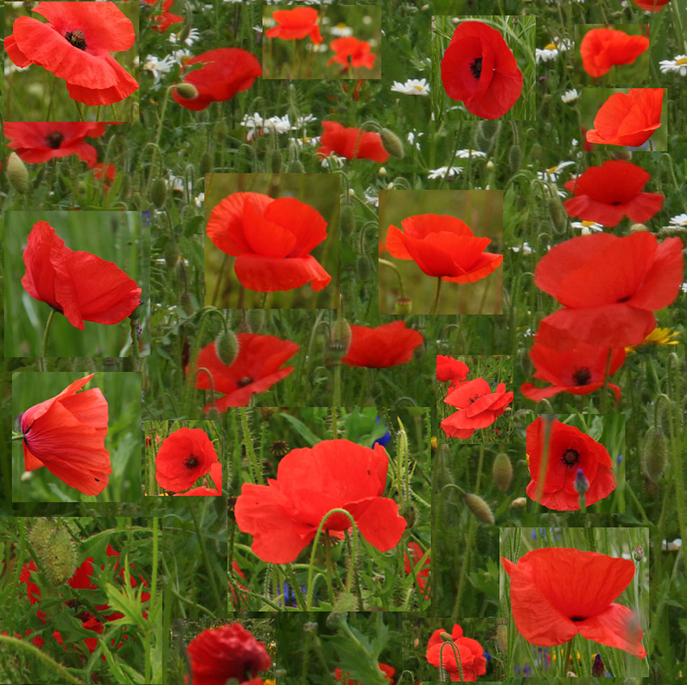 Poppies in the Living Field garden, through the years.